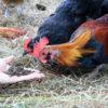 blacksoldierflychickens